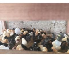 Pollitas de huevo azul