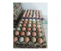 Vanta de huevos criollos