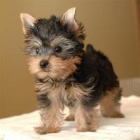 Hermosos YorkShire Terrier disponibles
