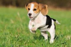 Hermosos Beagle disponibles