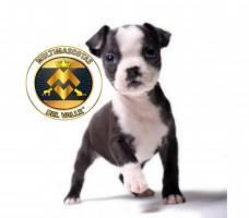 Tiernos pequeñines Boston Terrier disponibles