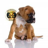 Preciosos cachorros Boxer, disponibles