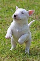 Preciosos cachorritos Bullterrier disponibles