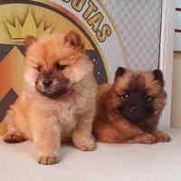 Preciosos cachorritos ChowChow disponibles