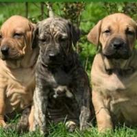 Preciosos cachorros Fila disponibles