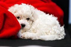 Tiernos French Poodle disponibles