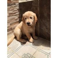 Preciosos y muy hermosos cachorros Golden Retriver disponibles