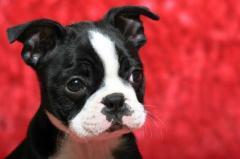 Preciosos Boston Terrier disponibles