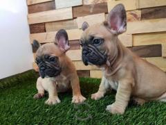Preciosos Bulldog Frances disponibles, entrega inmediata