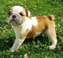 Divinos y muy tiernos cachorros Bulldog Ingles disponibles