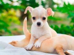 Preciosos Chihuahua disponibles
