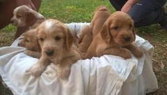 Preciosos pequeñines cachorritos Cocker Spaniel disponibles