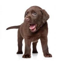 Lindos Labradores listos para entrega inmediata