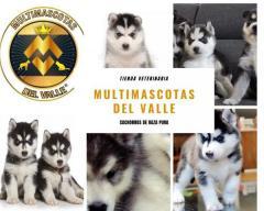 Divinos y juguetones cachorros Lobos Husky Siberianos disponibles