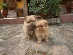 Divinos cachorritos Pomerania disponibles