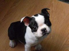 Tienda de mascotas vende cachorros boston terrier