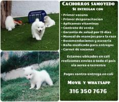 Almacen de mascotas ofrece cachorros samoyedos