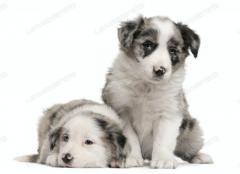 multimascotas del valle vende cachorritos border collie merle