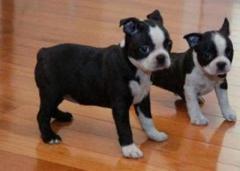 Hermosos cachorros Boston Terrier disponibles para entrega