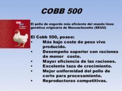 POLLOS GIGANTES DE ENGORDE: COBB 500