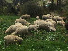 Vendo lote de ovejas para cría