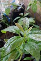 venta de  plantulas de aguacate injertado hass y reds