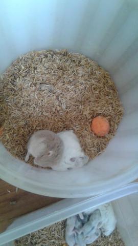 hamster rusos - 2/6