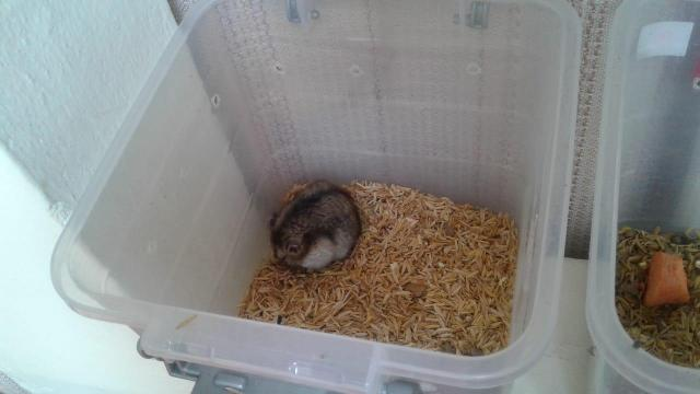 hamster rusos - 3/6