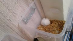 hamster rusos - Imagen 5/6
