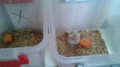 hamster rusos - Imagen 6/6
