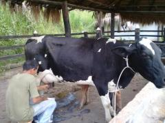 Vacas tipo leche y novillas