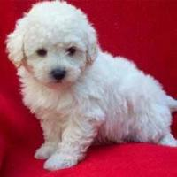 DISPONIBLES HERMOSOS CACHORROS FRENCH POODLE