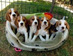 Hermosos cachorros Beagle, tiernos y con mucha energía estos pequeños cachorros