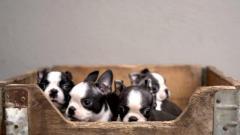Preciosos Boston Terrier, muy tiernos y dulces