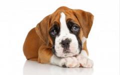 Preciosos cachorros Boxer