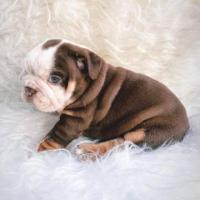 Fabulosos cachorros Bulldog Ingles exóticos