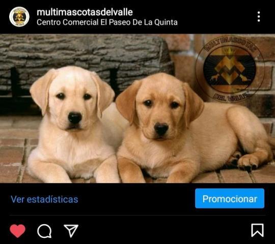 Preciosos cachorros labradores para una gran Compañía - 1/1