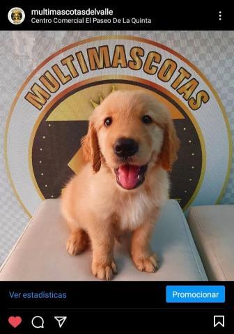 Espectacular cachorro macho Golden retriver, entrega inmediata - 1/1