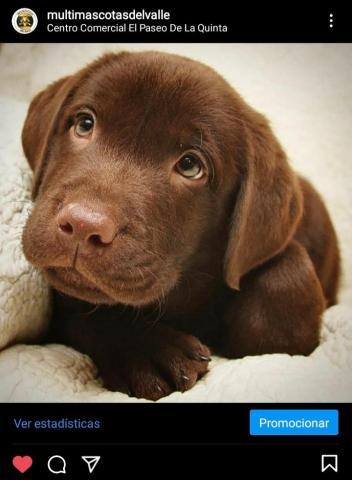 Labradores chocolates - 1/1