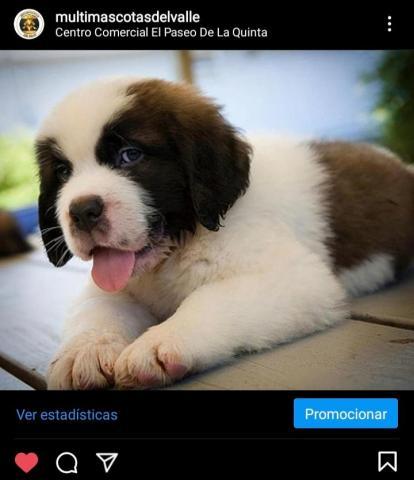 Bellos cachorros San Bernardo - 1/1