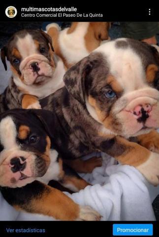 Magníficos cachorros Bulldog ingles merle exóticos - 1/1