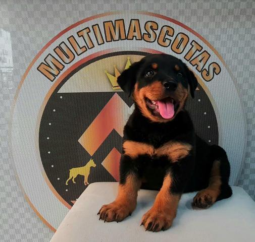 Hermoso cachorro linea alemana - 1/1