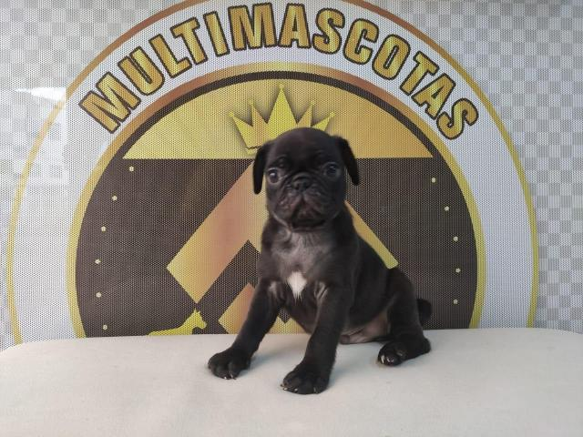 Pugs negros disponibles - 1/1