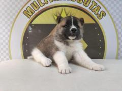 Divinos cachorros Akitas disponibles, entrega inmediata