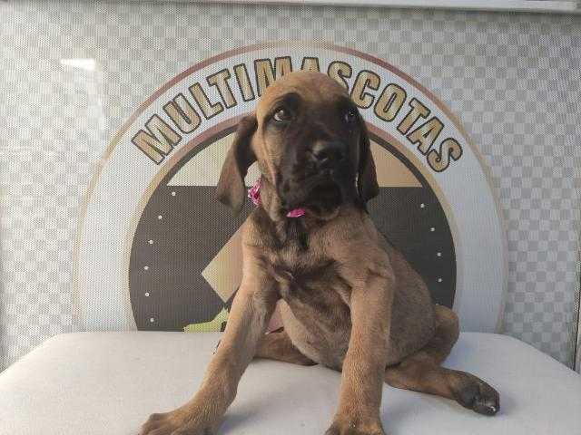 Fila brasilero, cachorros disponibles - 1/1