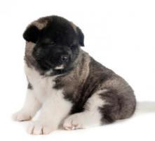Preciosos cachorros Akita americano de 50 días