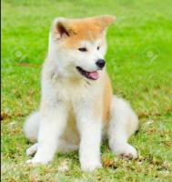 Hermosos cachorros Akitas japonés