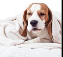 Preciosos cachorros Basset Hound
