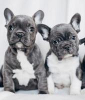 Preciosos cachorros bulldog francés