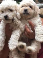 Preciosos cachorros French Poodle
